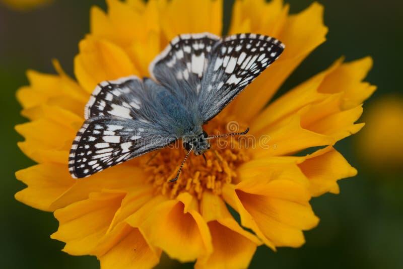 Capitano a quadretti comune su Coreopsis fotografia stock libera da diritti