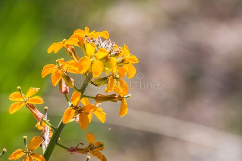 Capitatum occidental del Erysimum del alhelí que florece en la primavera, pináculos parque nacional, California fotos de archivo libres de regalías