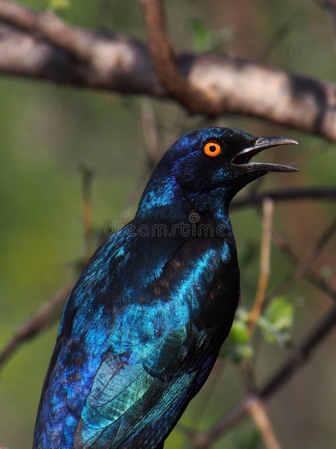 Capo Starling lucido fotografia stock libera da diritti
