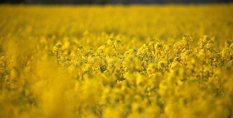 Capolini del canola del giacimento del seme di ravizzone in Germania fotografia stock