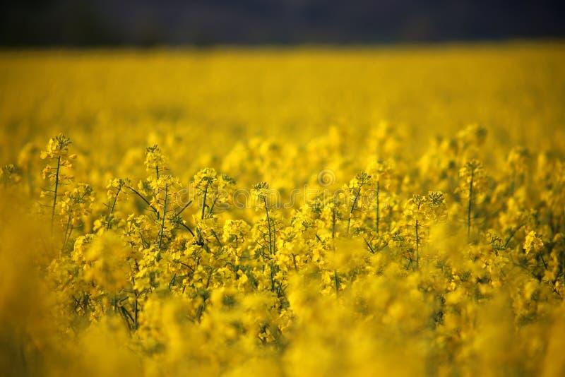 Capolini del canola del giacimento del seme di ravizzone in Germania immagine stock