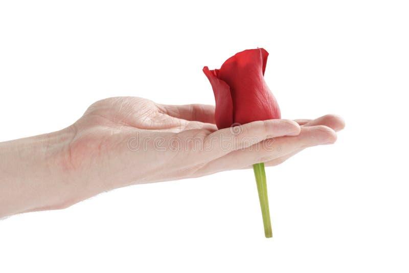 Capolino adulto della rosa rossa della tenuta della mano dell'uomo isolato fotografie stock