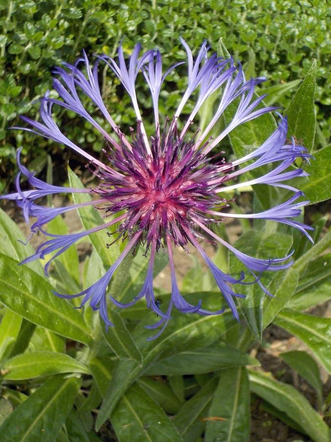 Capolino blu della centaurea del fiordaliso macro con il centro porpora che cresce all'aperto in un confine del giardino fotografie stock libere da diritti