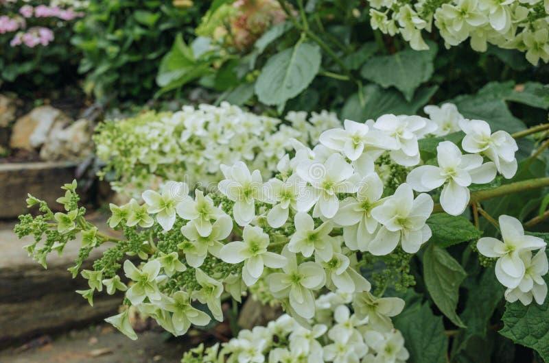 Capolino del quercifolia dell'ortensia dell'ortensia del oakleaf a metà maggio fotografia stock libera da diritti