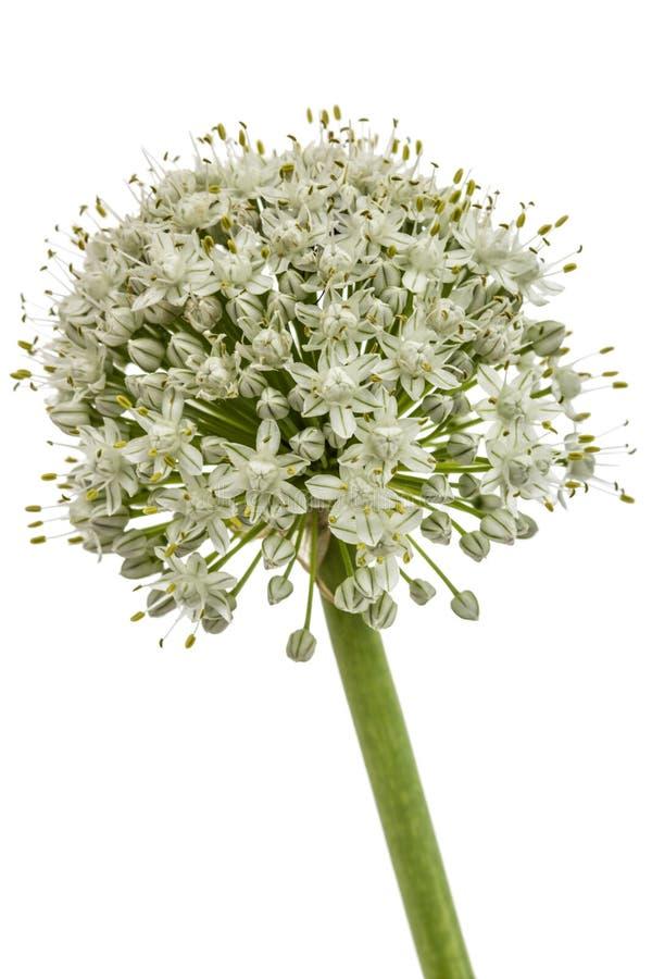 Capolino della cipolla commestibile, lat Allium cepa, isolato su briciolo fotografie stock