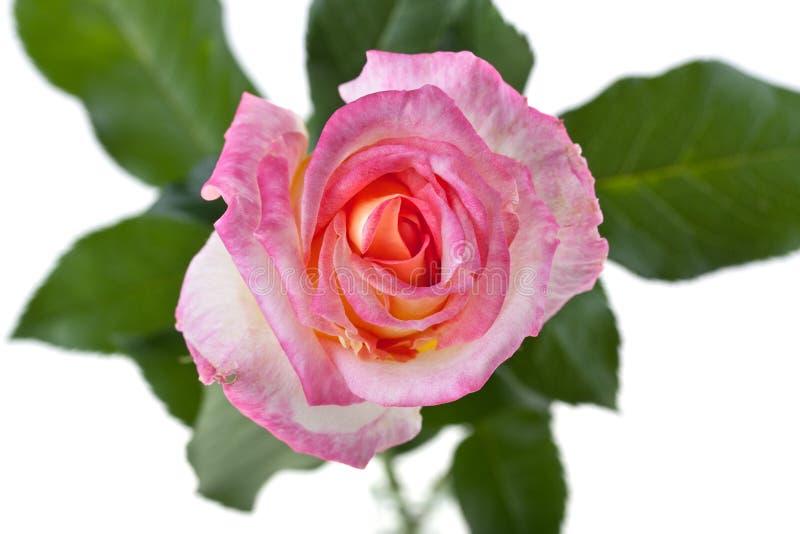 Capolino della rosa di rosa isolato su fondo bianco fotografie stock