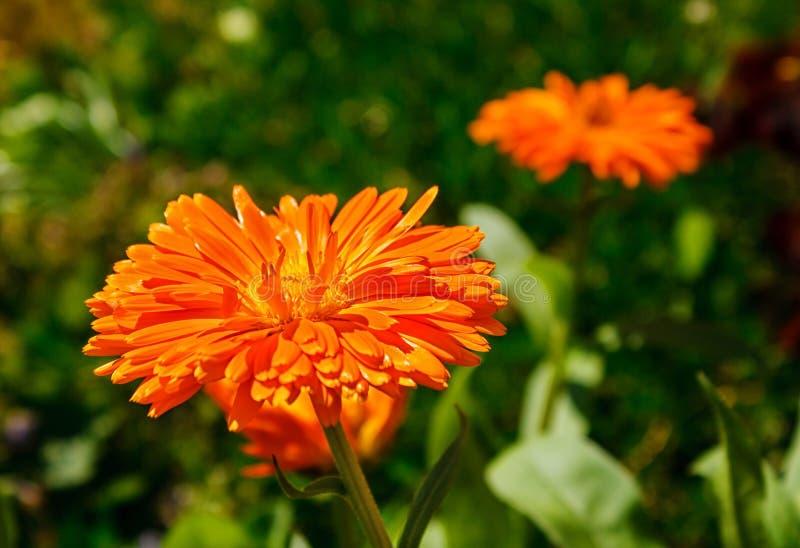 Capolino giallo arancione peloso della calendula fotografie stock