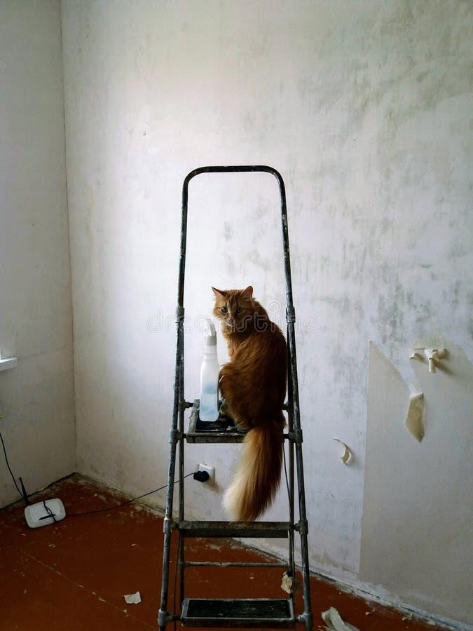 Caporeparto giallo del gatto immagini stock