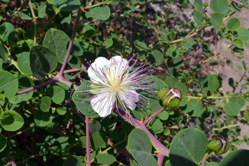 Capparis aegyptia zwianie kwitnie na wzgórze golan w Izrael obrazy royalty free