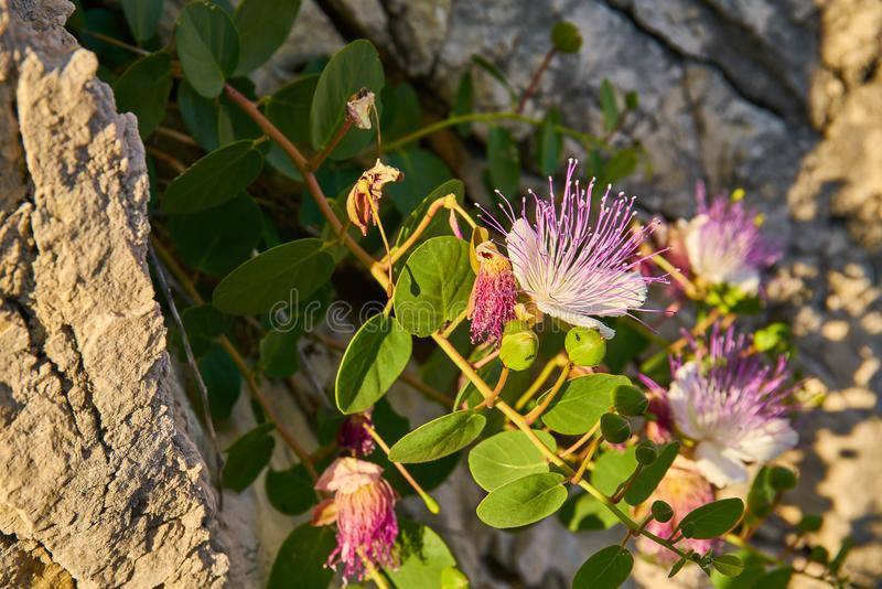 Capparis Spinosa, Caper bush, Flinders rose stock image