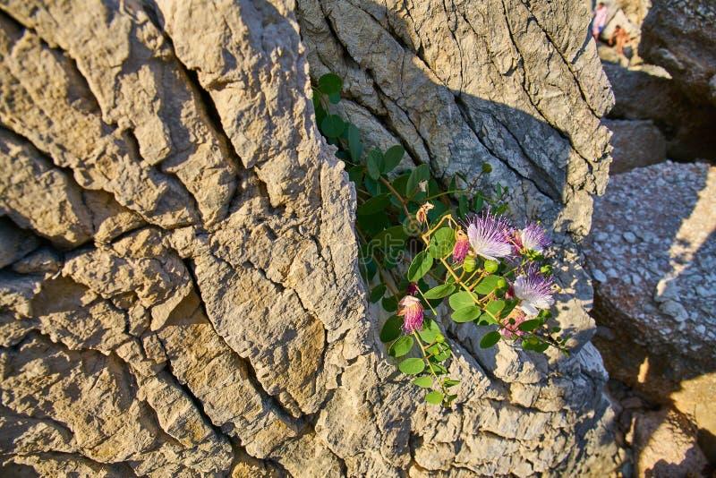 Capparis Spinosa, Caper bush, Flinders rose stock images