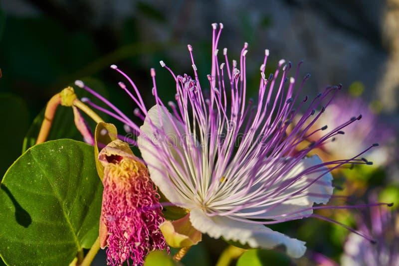 Capparis Spinosa, Caper bush, Flinders rose stock photo