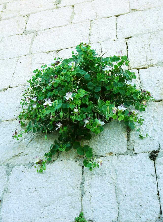 Capers, Capparis spinosa shrub that grows on the stone wall stock images