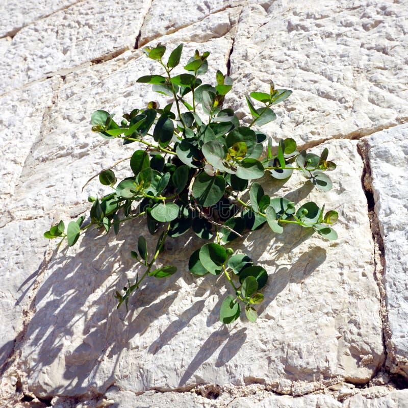Capparis spinosa o capperi, pianta verde che può essere ingredienti alimentari, sulla parete di pietra il giorno di estate solegg fotografia stock