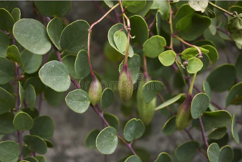 Capparis spinosa rozgałęzia się z owoc obrazy stock