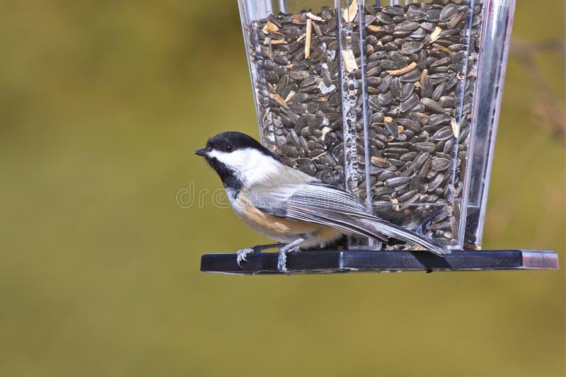 capped chickadeeförlagematare för fågel black fotografering för bildbyråer