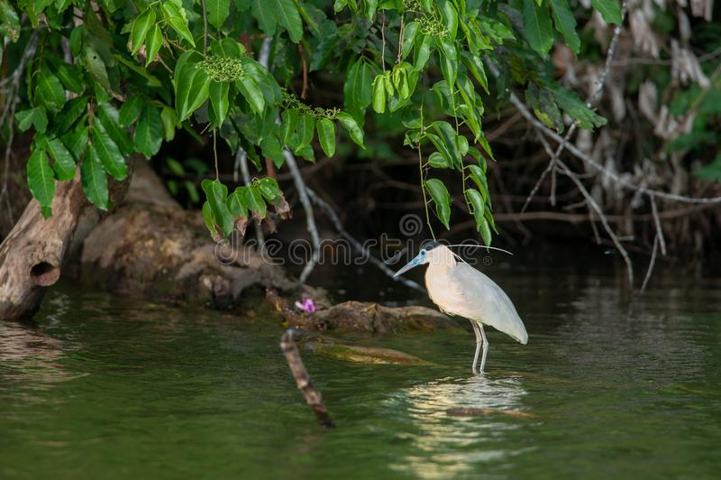 Capped heron stock images