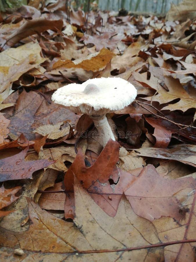 capped mushroom fotografering för bildbyråer