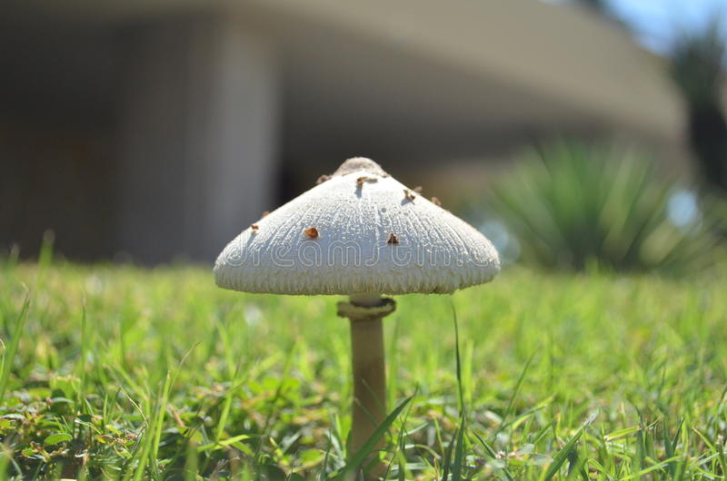 capped mushroom стоковые фотографии rf
