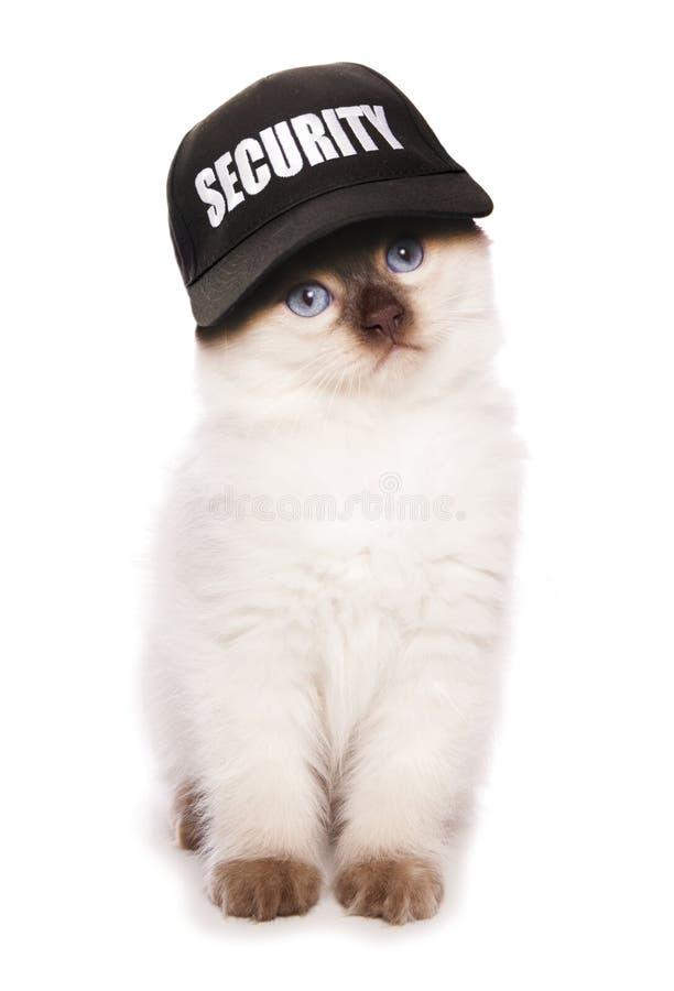 Cappello di baseball d'uso di sicurezza del gattino di Ragdoll immagini stock