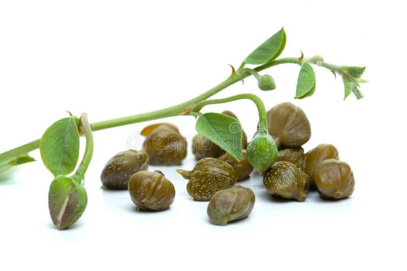 Capperi su fondo bianco Germoglio del cappero, pianta, foglie verdi immagine stock