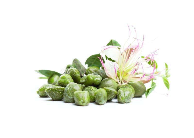 Capperi su fondo bianco Pianta del cappero, germoglio, foglie verdi fotografia stock libera da diritti