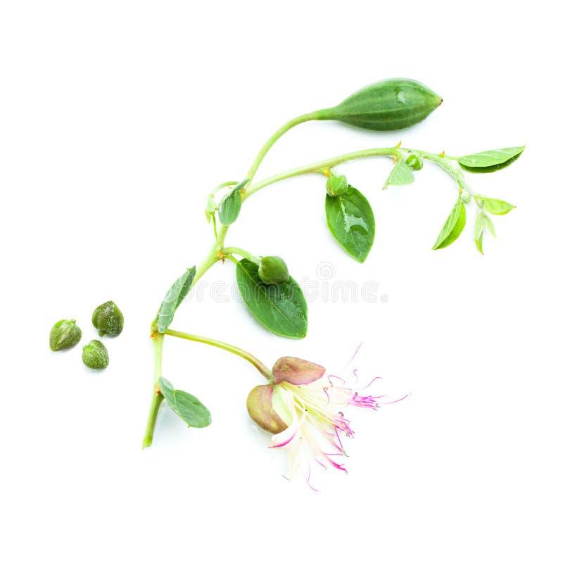 Cappero su bianco Capperi con le foglie verdi, fiore fotografie stock