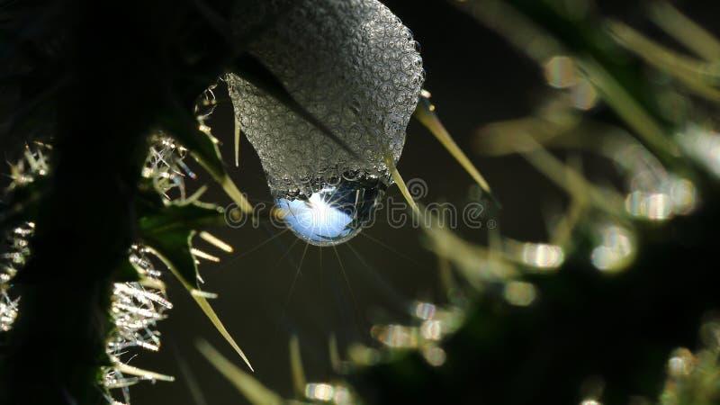 Cappuccio 3 della rugiada in natura selvaggia fotografia stock