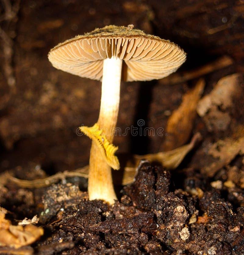 Cappuccio diritto del fungo fotografia stock