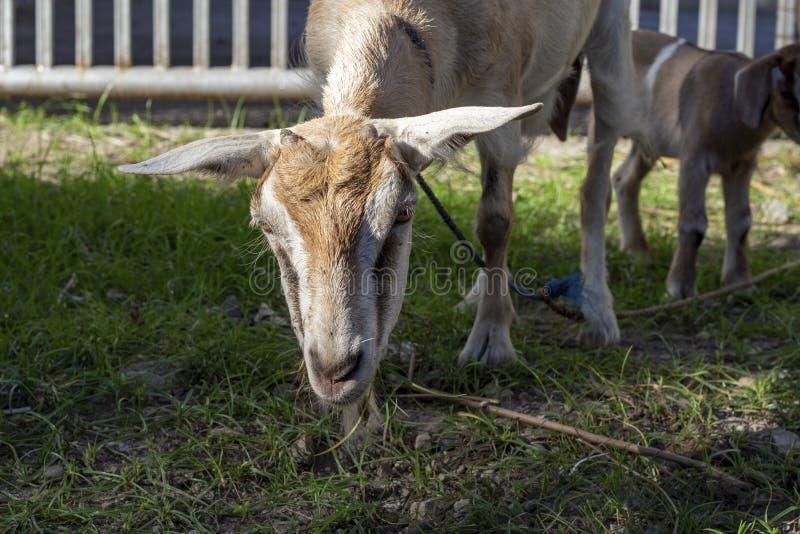 Capra adulta con la foto del primo piano del bambino Paesaggio agricolo con gli animali da allevamento fotografie stock libere da diritti