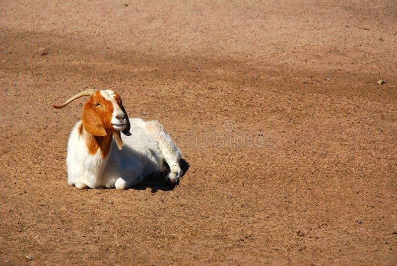Capra africana del Boer fotografia stock