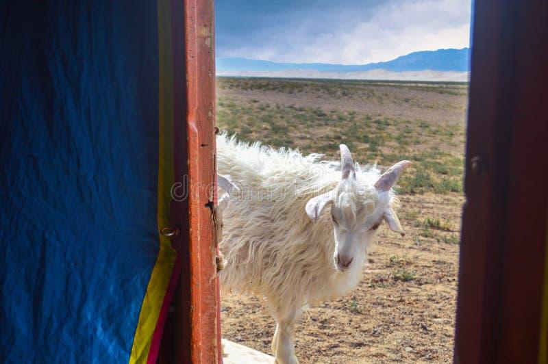 Capra amichevole che appartiene ai nomadi che scrutano in GER fotografie stock