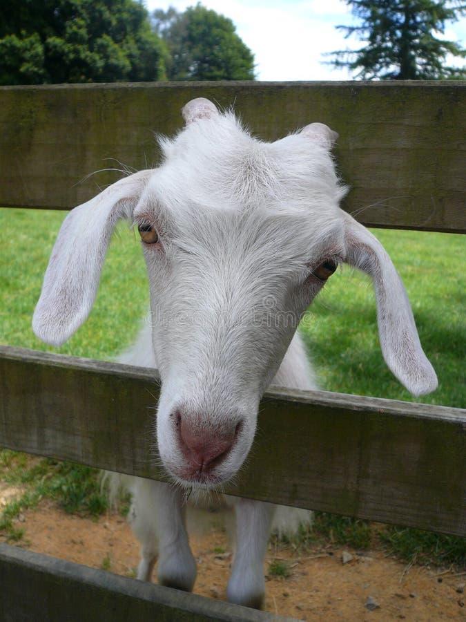 Capra bianca che colpisce la sua testa tramite il recinto di legno fotografie stock libere da diritti