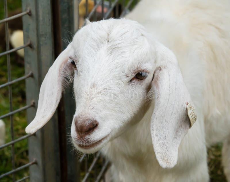 Capra bianca con l'etichetta in orecchio in penna recintata fotografie stock