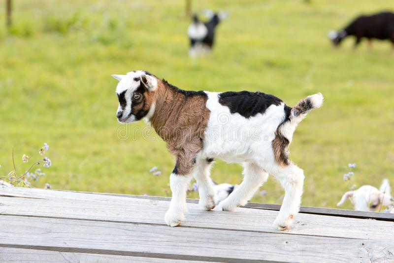 Capra bianca e nera di Brown, del neonato del bambino che gioca nel prato immagini stock
