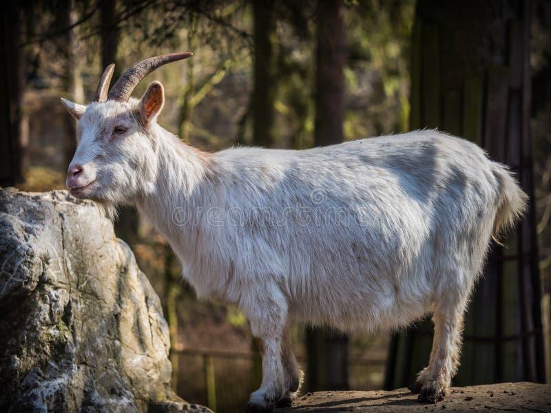 Capra bianca maschio che sta su una roccia fotografia stock libera da diritti