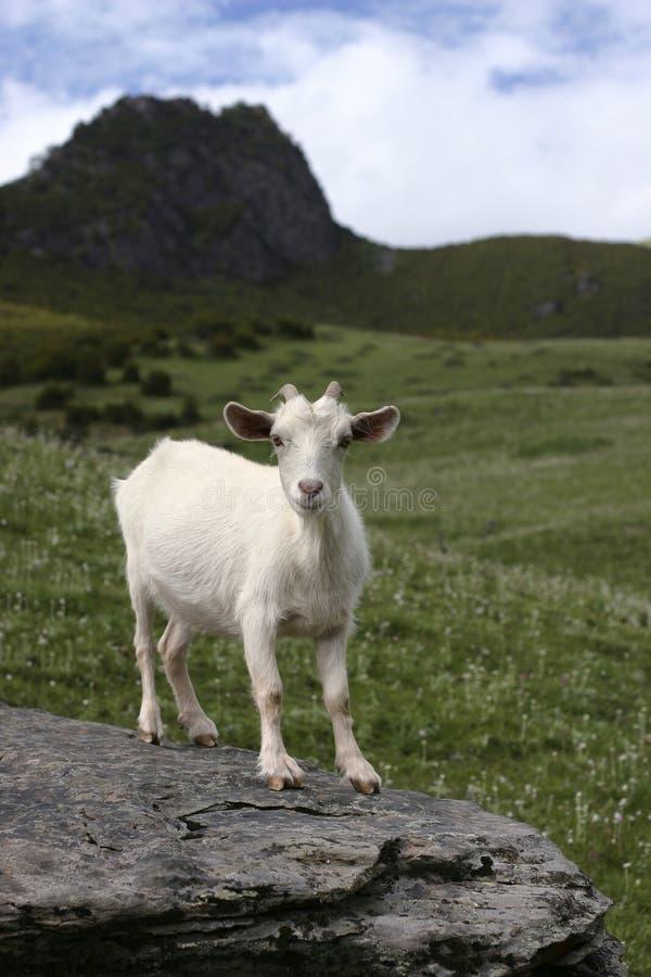 Capra bianca sulla roccia immagine stock immagine di erba for Cabine di roccia bianca