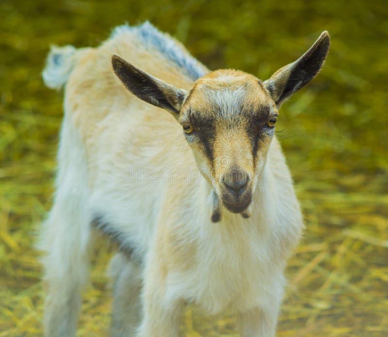 Capra capra dell 39 animale domestico capra animale capra - Animale domestico da colorare pagine gratis ...