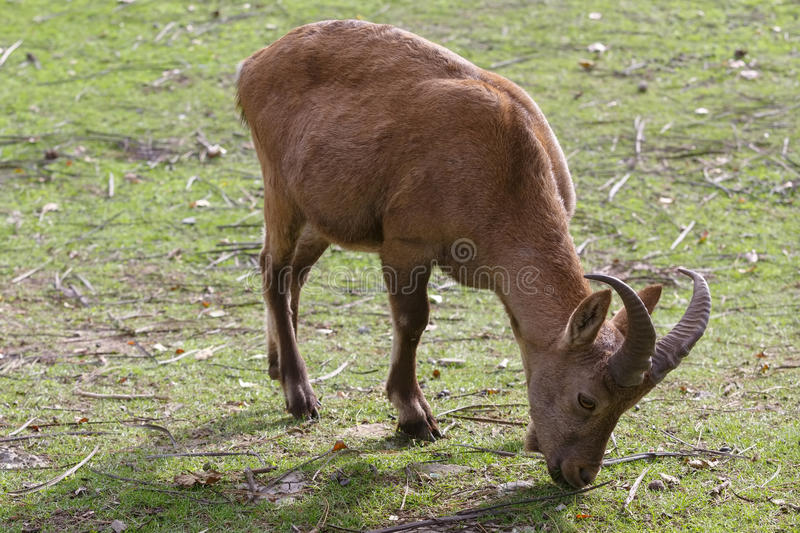 Capra caucasica is eating grass on the grassland.  stock photography