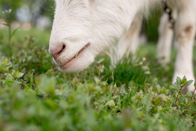 Capra che mangia erba su un primo piano verde del prato fotografie stock libere da diritti