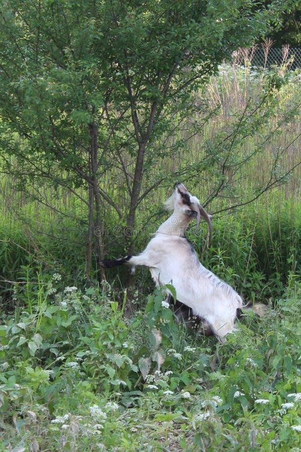 Capra che mangia le foglie da un albero immagine stock libera da diritti