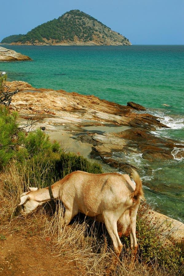 Capra che pasce vicino ad una spiaggia rocciosa nell'isola di Thassos, Grecia fotografia stock