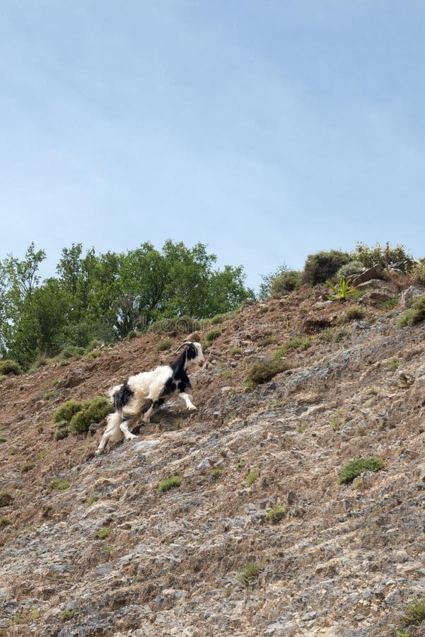 Capra che scala in una parete della montagna fotografia stock libera da diritti