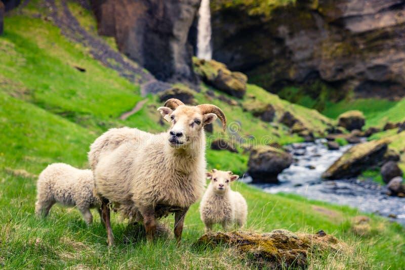Capra con due babys su un prato inglese verde fotografia stock