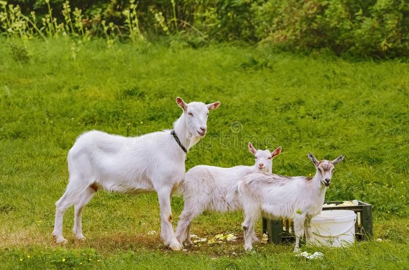 Capra con i goatlings immagine stock libera da diritti