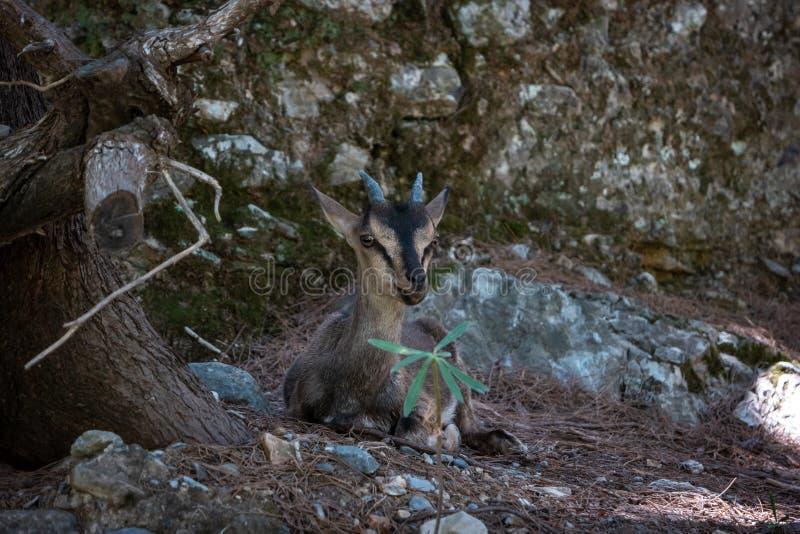 Capra Cretan - cretica di aegagrus della capra di kri-kri immagine stock