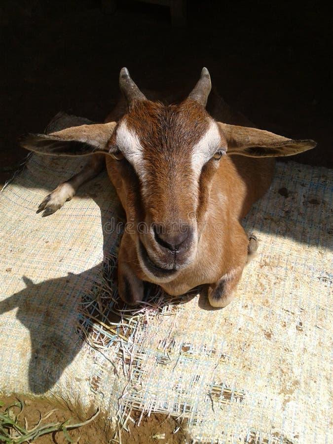capra del Bengala, capra marrone del Bengala immagini stock