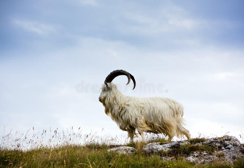 Capra di cachemire al Galles del nord fotografia stock libera da diritti