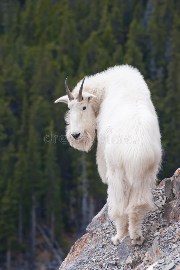 Capra di montagna rocciosa, Montagne Rocciose canadesi, Alberta fotografie stock libere da diritti