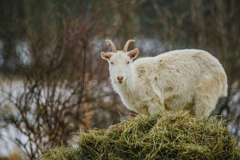 Capra domestica simile a pelliccia bianca del Camerun con i corni immagini stock libere da diritti